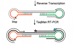 Graphic description of the Dumbbell-PCR (Db-PCR) method for quantification of RNA variants