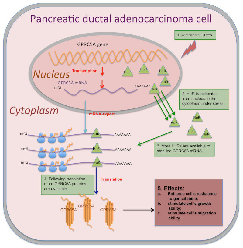 The roles of GPRC5A in pancreatic ductal adenocarcinoma