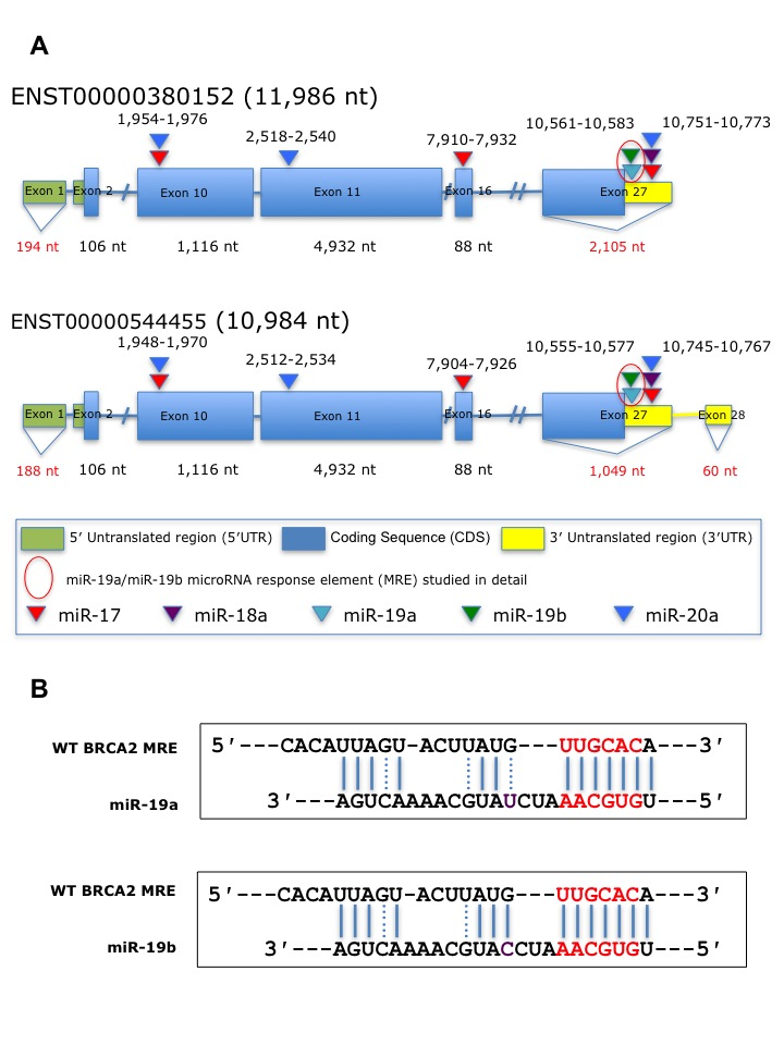 Illustration of the Predicted miRNAs response elements (MREs) withinBRCA2for the miR-17/92 cluster