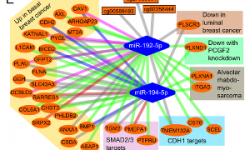 Role of miR-192-5p and miR-194-5p in cancer