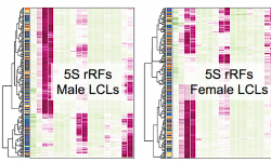 Graphical representations of the length abundances of rRFs for five LCL populations from the 1KG Project